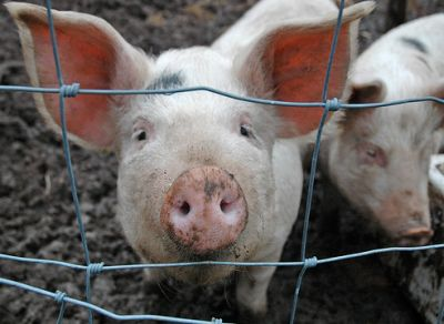pig-photo-by-michael-loudon-creativecommons