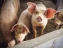 Pressure mounts on NC's largest pork producer to clean up its act