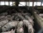 Industry bill to limit nuisance suits against hog operations nearing final passage