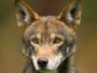 Last chance for the red wolf? Advocates ask federal judge to intervene to preserve endangered species